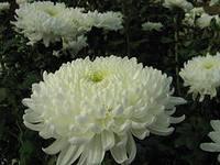 Хризантема махровая платье невесты выращивание 60